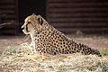 Acinonyx jubatus at the Denver Zoo 2012 03 12 1046.jpg