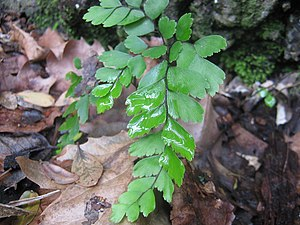 English: Adiantum cunninghamii, a Maidenhair f...