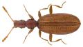 Adistemia watsoni (Wollaston, 1871).png