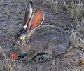 Adolescent Black-tailed Jackrabbit.jpg