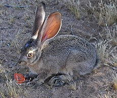 Adolescent Black-tailed Jackrabbit.jpg