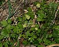Adoxa moschatellina (Moschatel) - Flickr - S. Rae.jpg