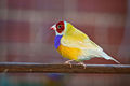 Adult male double factor yellow back Gouldian finch.jpg