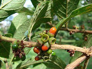 Aegiphila lhotskiana - Image: Aegiphila lhotzkiana fruits