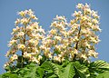 Aesculus hippocastanum Каштан конский Цветение.jpg