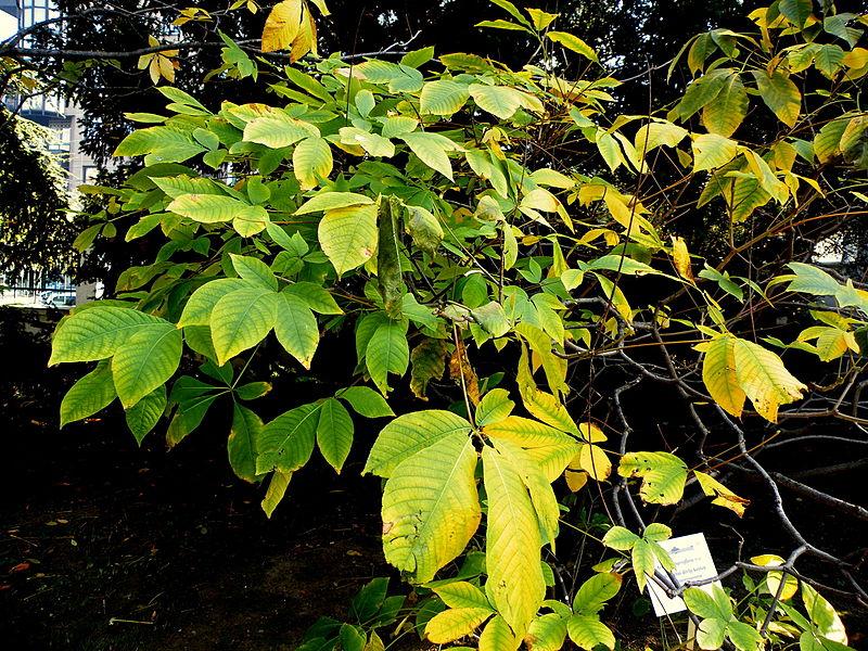 File:Aesculus parviflora (3).JPG