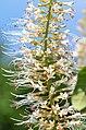 Aesculus parviflora 2478.jpg