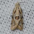 Aethes razowskii – Razowski's Aethes Moth - possible (14513502528).jpg