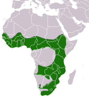 African Clawless Otter area