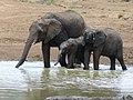 African Elephants (Loxodonta africana) drinking (8291608572).jpg