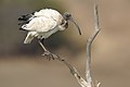 African Sacred Ibis, Threskiornis aethiopicus, at Pilanesberg National Park, South Africa (45081680281).jpg