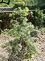 Afrocarpus gaussenii - Val Rahmeh - DSC04442.JPG