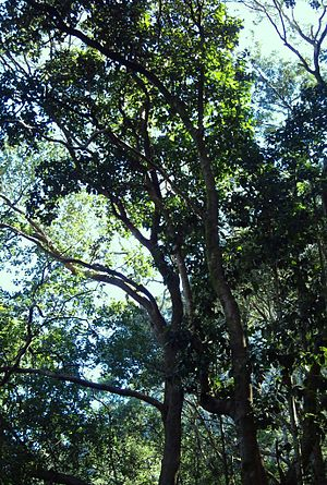 Ocotea bullata - Giant stinkwood tree in indigenous afrotemperate forest, South Africa.
