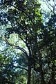 Afromontane forest canopy - giant Black Stinkwood tree - SA.JPG