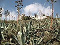 Agaves on Likavitos hill, Athens - panoramio.jpg