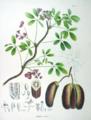Akebia quinata SZ77.png