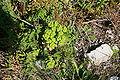 Alcúdia - Cami de Manresa - Euphorbia helioscopia 01 ies.jpg