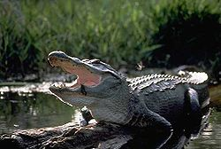 Mississippinalligaattori (Alligator mississipiensis)