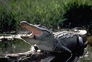 Mississippi-Alligator (Alligator mississippiensis)