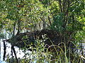 Alligator Nest at Shark Valley, NPSPhoto (1) (9101513571).jpg