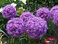 Allium 'Gladiator' Czosnek 2015 03.jpg
