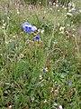 Allium beesianum.jpg