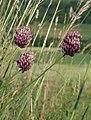 Allium rotundum 290608a.jpg
