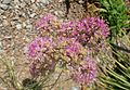 Allium stellatum kz1.jpg