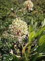 Allium victorialis 005.JPG
