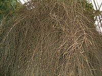 Allocasuarina verticillata HabitusMaleInflorescences BotGard1205