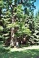 Allrode (Thale), protected oak.jpg