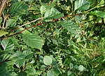 Alnus-viridis-leaves.JPG