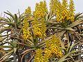 Aloe dichotoma03.jpg