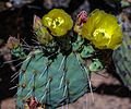 Along W Pecos Way in Tortolita, Ariz - more prickly blooms - (18102824681).jpg