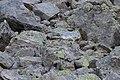 Alpine Marmot - Marmota marmota (15409730312).jpg