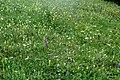Alpine meadow (Gru) (31828409192).jpg