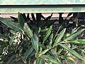 Alpinia zerumbet beneath platform of Kyusandai-mae Station.jpg