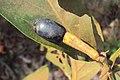 Alseodaphne semecarpifolia fruit 01.JPG