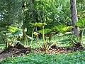 Alter Botanischer Garten Kiel Gunnera.jpg