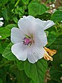 Althaea officinalis 003.JPG