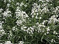 Alyssum or Lobularia maritima from Lalbagh flower show Aug 2013 8191.JPG