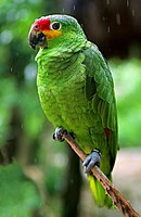 A green parrot with a red forehead and yellow cheeks