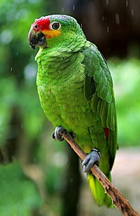 Amazona autumnalis -Xcaret theme park -Riviera Maya-8a