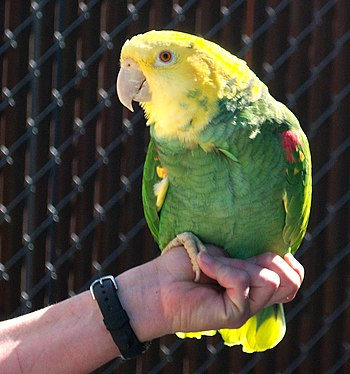 Yellow-headed Amazon (also known as the Yellow...