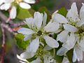 Amelanchier alnifolia (3288775743).jpg