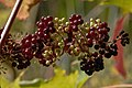 American Spikenard (Aralia racemosa) - Gatineau Park.jpg