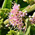 American beautyberry (Callicarpa americana) (7729346546).jpg