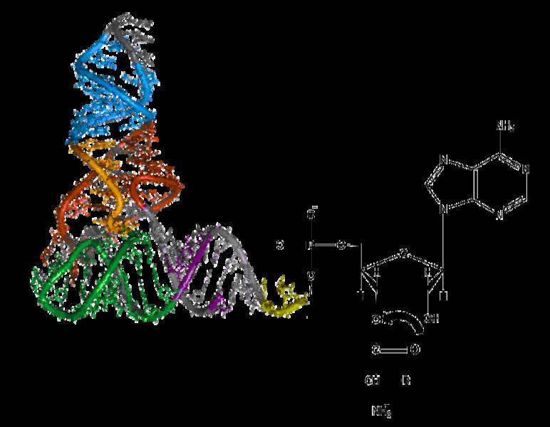 aminoacyl trna synthetase - photo #32