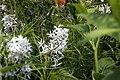 Amsonia hubrectii 3zz.jpg
