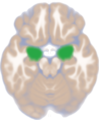 Amygdala dorsal view.png